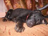 Собаки, щенки Восточно-Европейская овчарка, цена 2700 Грн., Фото