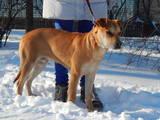 Собаки, щенки Мальоркский бульдог (Ка Де Бо), цена 300 Грн., Фото