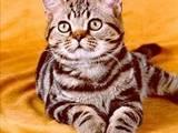 Кішки, кошенята Американська короткошерста, ціна 450 Грн., Фото