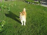 Собаки, щенята Акіта-іну, Фото