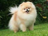 Собаки, щенята Карликовий шпіц, ціна 40000 Грн., Фото
