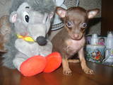 Собаки, щенки Русский гладкошерстный тойтерьер, цена 2000 Грн., Фото