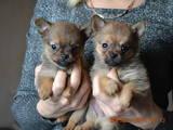 Собаки, щенки Карликовый шпиц, цена 1200 Грн., Фото