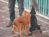 Собаки, щенята Англійський коккер, ціна 10 Грн., Фото