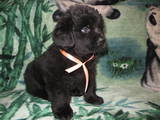 Собаки, щенята Ньюфаундленд, ціна 5700 Грн., Фото