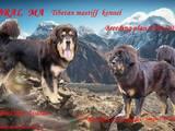 Собаки, щенята Тибетський мастиф, ціна 42000 Грн., Фото