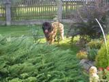 Собаки, щенки Леонбергер, Фото