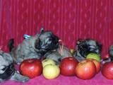 Собаки, щенята Японський хіни, ціна 10000 Грн., Фото