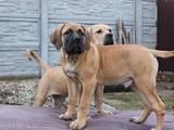 Собаки, щенки Южноафриканский бурбуль, цена 12000 Грн., Фото