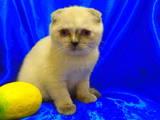 Кошки, котята Шиншилла, цена 2000 Грн., Фото