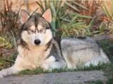 Собаки, щенята Сибірський хаськи, ціна 1000 Грн., Фото