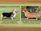 Собаки, щенята Вельш коргі пемброк, ціна 16000 Грн., Фото
