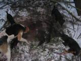 Собаки, щенята Ганноверська гонча, ціна 700 Грн., Фото