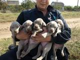 Собаки, щенята Веймарська лягава, ціна 5000 Грн., Фото