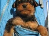 Собаки, щенята Ердельтер'єр, ціна 2500 Грн., Фото