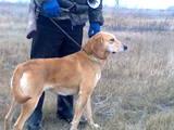 Собаки, щенята Латвійський гончак, ціна 10 Грн., Фото