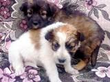 Собаки, щенята Безпорідна, ціна 2 Грн., Фото