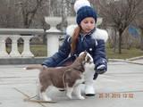 Собаки, щенята Американський акіта, ціна 7800 Грн., Фото