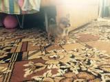 Собаки, щенки Русский гладкошерстный тойтерьер, цена 1500 Грн., Фото