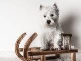Собаки, щенята Вестхайленд уайт тер'єр, ціна 7000 Грн., Фото