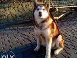 Собаки, щенки Аляскинский маламут, цена 5000 Грн., Фото