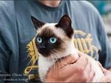 Кішки, кошенята Тайська, ціна 1800 Грн., Фото
