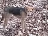 Собаки, щенята Російський хорт, ціна 1000 Грн., Фото