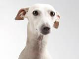 Собаки, щенята Левретка, ціна 10000 Грн., Фото
