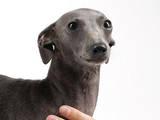 Собаки, щенки Левретка, цена 10000 Грн., Фото