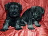 Собаки, щенята Цвергшнауцер, ціна 300 Грн., Фото