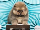 Собаки, щенята Карликовий шпіц, ціна 15000 Грн., Фото