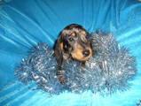Собаки, щенки Жесткошерстная миниатюрная такса, цена 10000 Грн., Фото