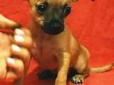 Собаки, щенки Русский гладкошерстный тойтерьер, цена 4000 Грн., Фото