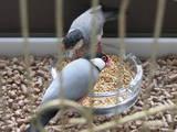 Попугаи и птицы Канарейки, цена 100 Грн., Фото