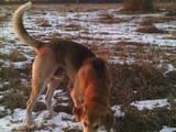 Собаки, щенки Русская борзая, цена 900 Грн., Фото