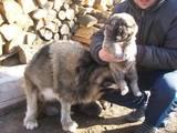 Собаки, щенки Кавказская овчарка, цена 3000 Грн., Фото