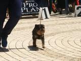 Собаки, щенята Бельгійський гріффон, ціна 6000 Грн., Фото