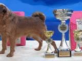 Собаки, щенята Брюссельський гріффон, ціна 6000 Грн., Фото