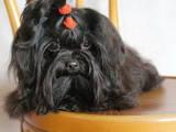 Собаки, щенята Кольорова болонка, ціна 3000 Грн., Фото