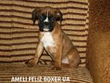 Собаки, щенки Боксер, цена 3000 Грн., Фото