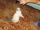 Кішки, кошенята Гімалайська, ціна 500 Грн., Фото