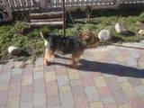 Собаки, щенята Вельштер'єр, Фото