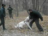 Собаки, щенята Американський акіта, ціна 100 Грн., Фото
