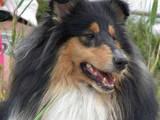 Собаки, щенки Длинношерстный колли, цена 3000 Грн., Фото