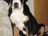 Собаки, щенята Великий Швейцарський зенненхунд, ціна 35000 Грн., Фото