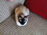 Кошки, котята Меконгский бобтейл, Фото
