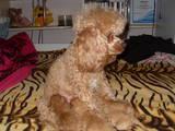 Собаки, щенята Малий пудель, ціна 2000 Грн., Фото