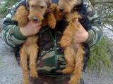Собаки, щенята Вельштер'єр, ціна 1000 Грн., Фото