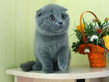 Кішки, кошенята Екзотична короткошерста, ціна 3500 Грн., Фото