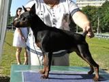 Собаки, щенки Карликовый пинчер, цена 8500 Грн., Фото